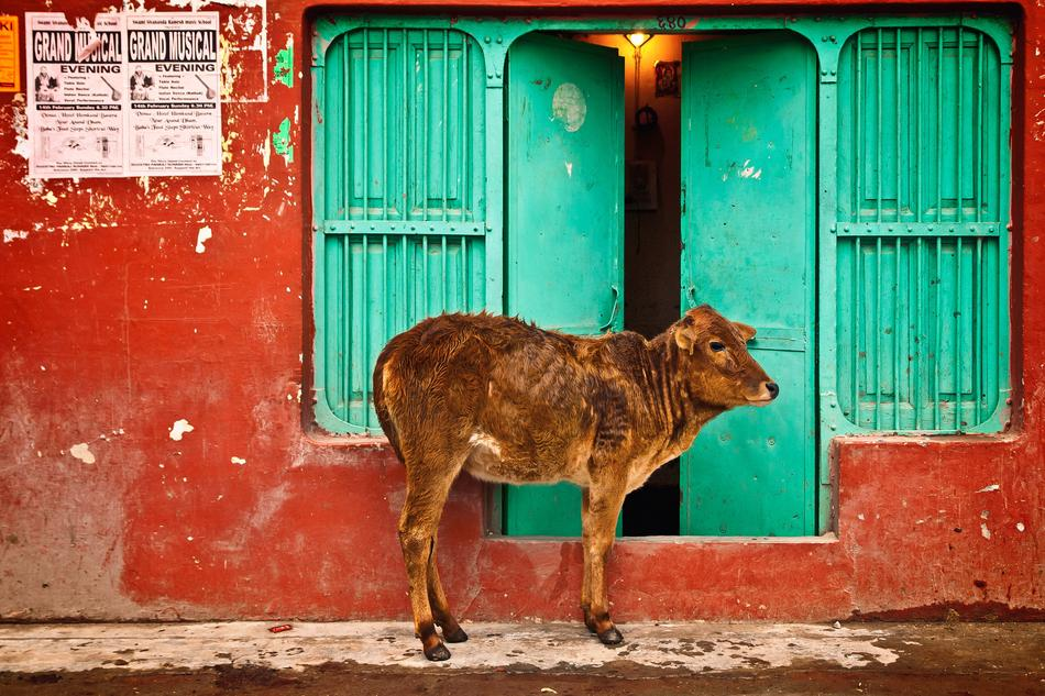 Holy Cow, brown calf on street in front of green Door, india