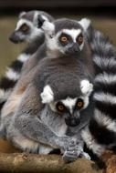 Family of lemurs in the zoo in Africa