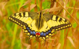 Swallowtail Butterfly on dry grass