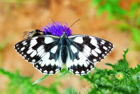 chessboard butterfly on a blooming thistle