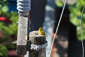 small yellow bird on an electric pole