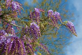 tree with purple flowering inflorescences on a sunny day