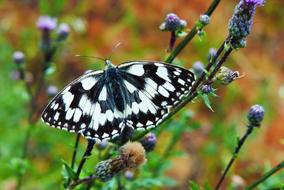 spotted black and white Butterfly on meadow