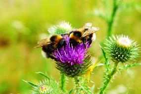 two fluffy bumblebees on a blooming thistle