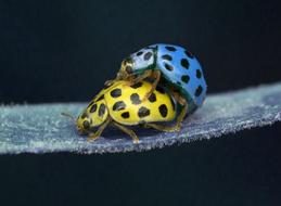 mating of two spotted ladybugs