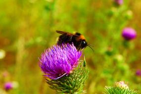 Bumblebee feeding on thistle flower