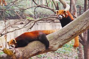 Loveable Red Pandas