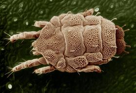 Yellow Mite Lorryia Formosa close-up