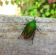 Beetle Figeater Green