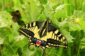 black and yellow butterfly on a green plant in a summer garden