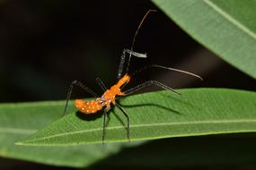wonderful Assassin Bug Nymph
