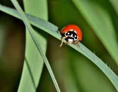 Lady Beetle and green leaf