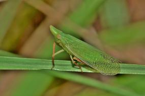 Leafhopper Planthopper Insect