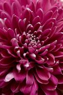 Chrysanthemum Closeup flowers