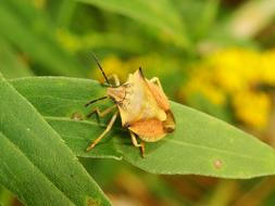 yellow bug on a green leaf of a plant