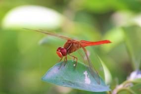 red Dragonfly Insect Animal