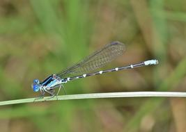 Damselfly Familiar blue