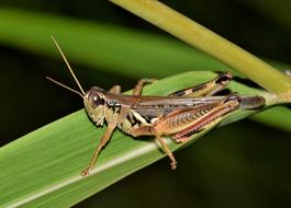 brown Grasshopper big Insect