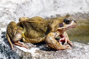 brown Frogs Amphibian