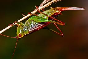Grasshopper Insect Macro photo