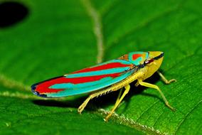 Leafhopper Insect Macro