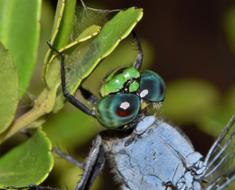Dragonfly face