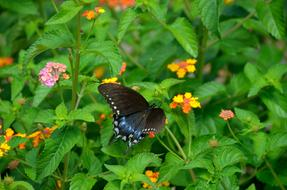 Swallowtail Butterfly Garden flowers