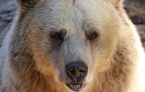 face Bear Grizzly Wildlife