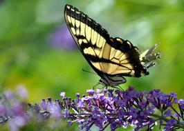Butterfly Monarch and violet flowers