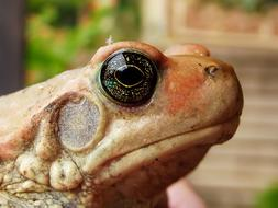 African Red Toad face