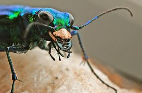 Tiger Beetle Insect Macro photo