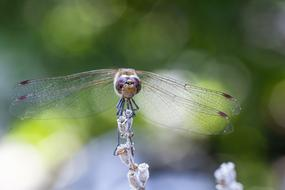 ravishing Dragonfly Blurry