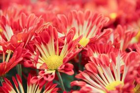 Chrysanthemum pink Flowers