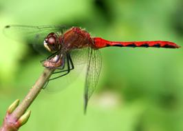 big Dragonfly Red Insect