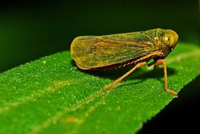 Leafhopper Macro Insect