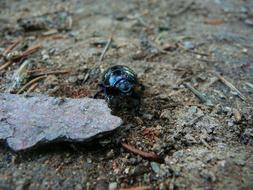 earth-boring dung beetles