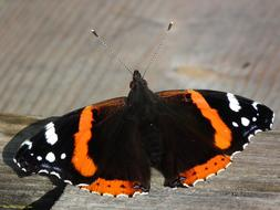 Butterfly Admiral Wing orange black