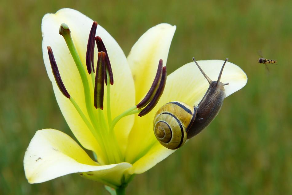 striped snail on a white blooming lily