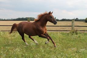 brown horse galloping around the farm