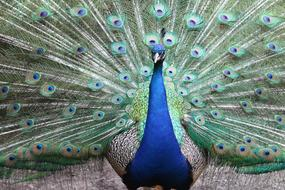 magnificent Peacock Feather