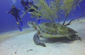 scuba divers and turtle