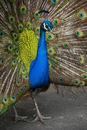male peacock with tail