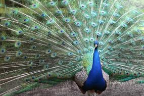 beautiful peacock with a fan tail