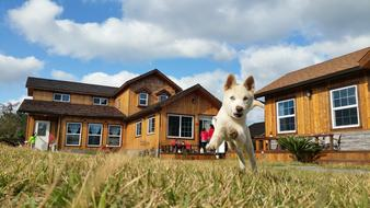 Korean Jindo Dog green grass