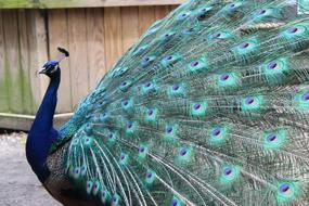 Peacock Feather green blue