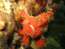 Frogfish red