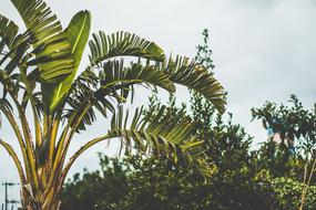 Banana tree Cloudy Skies