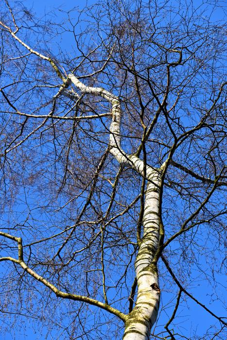 Birch tree with twisted trunk at sky