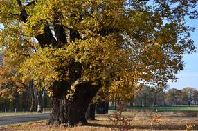 old Oak, giant Deciduous Tree at autumn