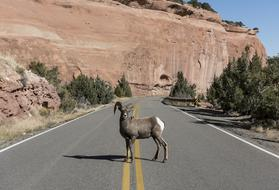 photo of a mountain goat on a highway